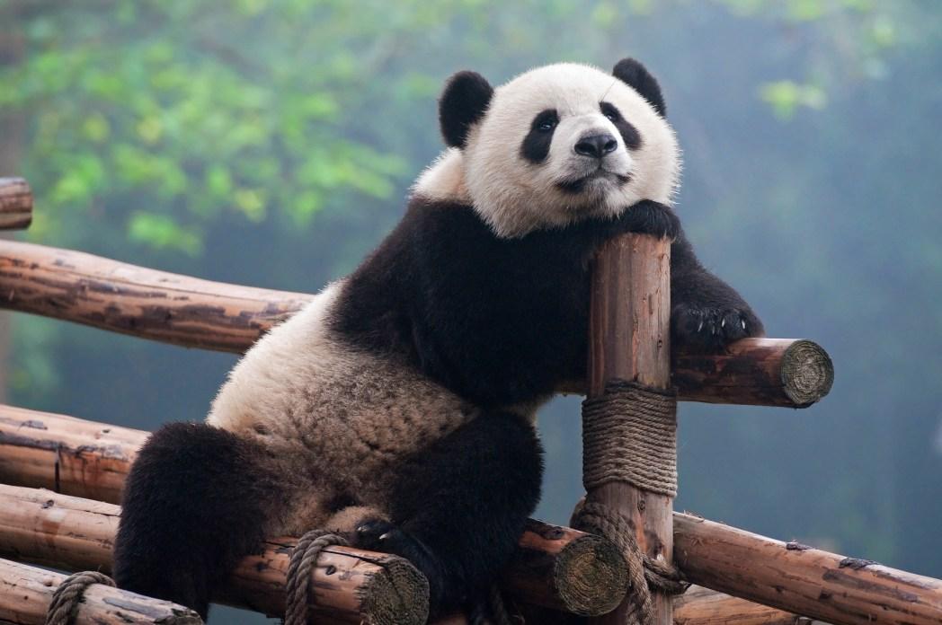 Panda in Chengdu, China