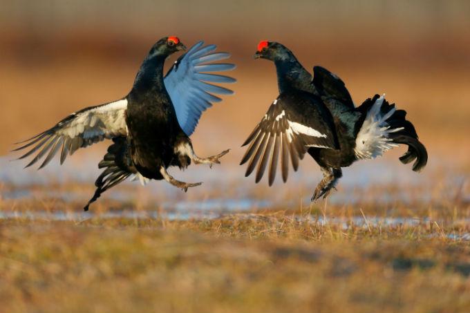 Vogels in gevecht