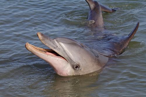 Dolfijn in zee