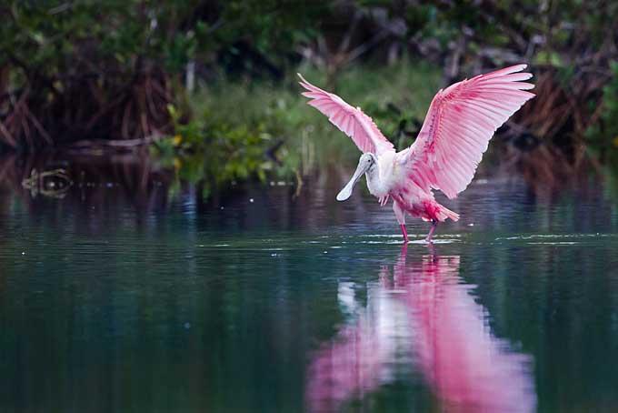 Roze lepelaar, Everglades
