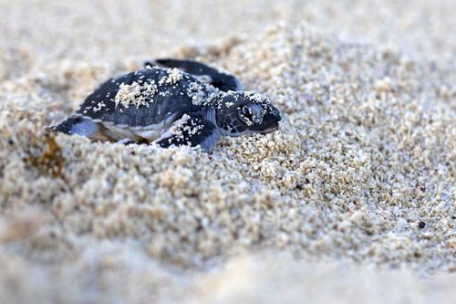 Babyschilpad in het zand